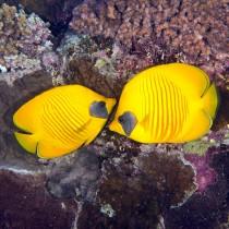 Bluecheek Butterflyfish nestled in the reef