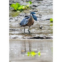Boat-billed Heron fishing
