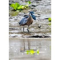 Boat-billed Heron fishing