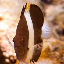 Pyramid Butterflyfish waiting at a cleaning station