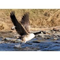 Canada Goose taking Flight