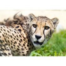 Stealthy Cheetah