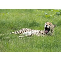 Cheetah Yawning Contentedly