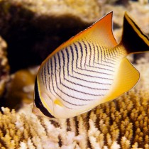 Chevron Butterflyfish nibbling polyps from a Table Coral
