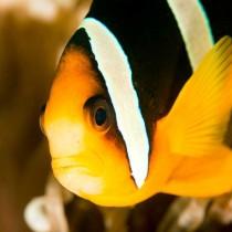 Chocolate Clownfish (anemonefish)