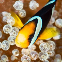 Clark's Anemonefish (clownfish) on a Bubbletip Anemone