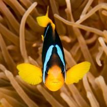 Clark's Anemonefish (clownfish)
