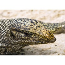 Monitor Lizard basking in the sun on a coral seashore