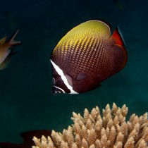 Collared Butterflyfish swimming by corals