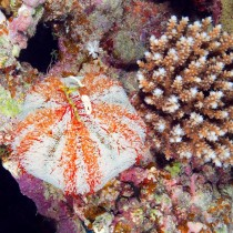 Collector urchin perched by Acropora coral