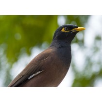 ndian Myna Close-up