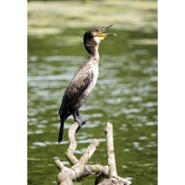 Great Cormorant squawking by a river's edge