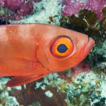 Crescent-tail Bigeye, bold eye contact