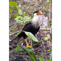 Crested Caracara scavenging in the rainforest
