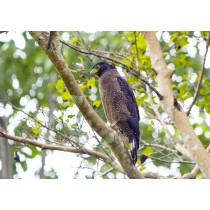 Crested Serpent Eagle hunting