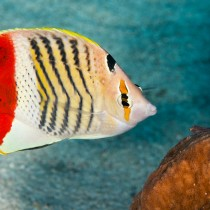 Crown Butterflyfish watched by a minute Goby
