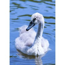Close-up of a cygnet