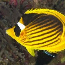 Diagonal butterflyfish being cleaned by a wrasse