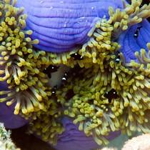Domino Damselfish in an amazing anemone