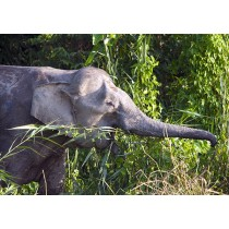 Elephant Feeding in the rainforest