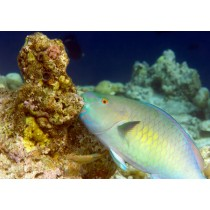 Ember Parrotfish (male)