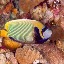 Emperor Angelfish in sea corals