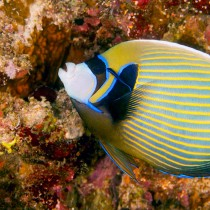 Emperor Angelfish cleaned by a Wrasse