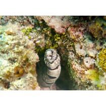 Enigmatic Moray Eel
