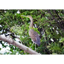Fasciated Tiger heron perched on an acacia tree