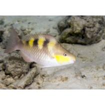 Five-saddle Parrotfish