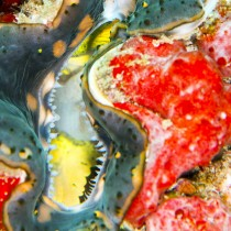 Fluted Giant Clam engulfed by a Red Sea Sponge