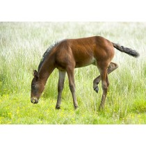 Foal Grazing among Summer Buttercups