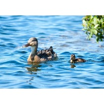 Gadwall with Duckling on a blue lake
