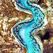 Giant clam resembling an aquamarine river cascading through a tropical ravine.