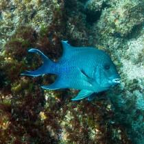Giant Damselfish overlooked by an astonished hawkfish