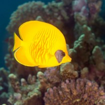 Golden Butterflyfish hovering over Acropora Corals