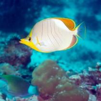 Goldheaded Butterflyfish in an aquamarine sea