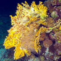 Gorgonian Hydroid in Fire Coral