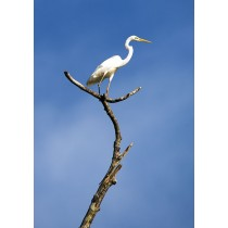Great Egret on a lookout post