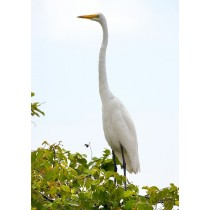 Common Egret surveying wetlands from a tree vantage point