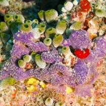 Green barrel sea squirts