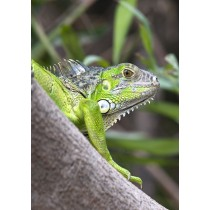 Green Iguana Close-up
