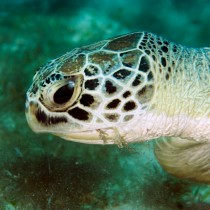 Green Turtle contentedly munching on seagrass
