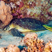 Green Turtle & Remoras, best bedtime companions