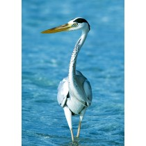 Heron wandering in the shallows