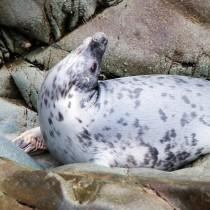 Grey Seal in a Yoga Seal Pose