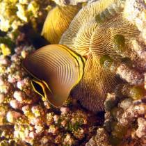 Herringbone Butterflyfish nibbling on Mushroom Coral