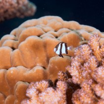 Humbug Dascyllus peeping out from pink corals