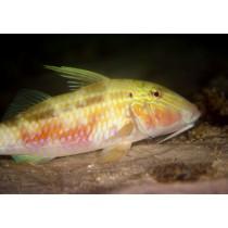 Indian Goatfish