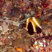 Bannerfish in a castle of corals